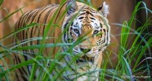 Animal Kingdom Tiger